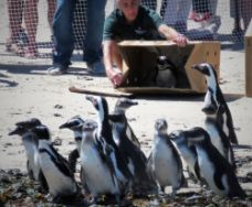 Annual Penguin Festival in Simon's Town