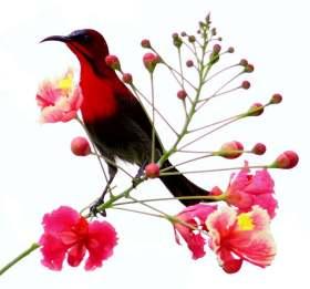 The Crimson Sunbird