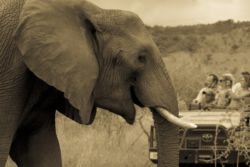 Great game viewing safaris