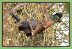 The purplecrested loeries are always around the tents eating the berries