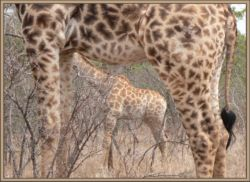 Maybe because of their size, but you can always find giraffes along our fences. The only photo of mating ones I have taken in 18 years of guiding in Kruger Park, was on our fence!