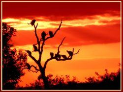 Let me finish with a sunset. The vultures are waiting for the lions under the tree to leave so that they can join in the feast.