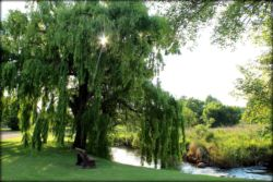 The willow tree next to the river