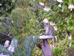 A monkey drinking water from the bird bath