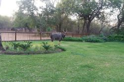 Nyala jumped over fence into garden of homestead