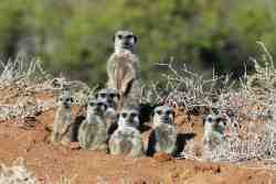 Join us for a meerkat tour!