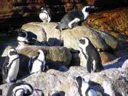 Penguins at Stoney point.