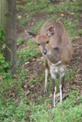 Bushbuck at Blue Dolphin