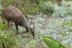 Free roaming Bushbuck feeding in front garden