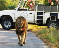 Lion in the Kruger National Park