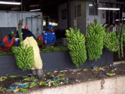 Off-loading bananas in pack-house