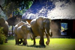 Elephants at Croc Valley Camp