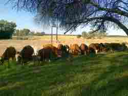 Cattle feeding near the Farmhouse