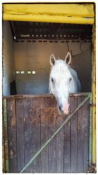 One of our beautiful Arab horses