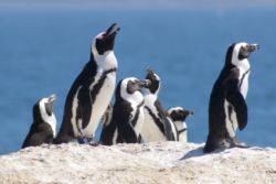 Penguins at Boulders Beach - 1 km away from Felsensicht