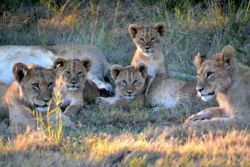 Lion Pride and Cubs