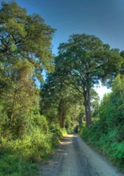 The road to inniKloof, bordered by lovely towering indigenous trees.