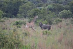 Giraffe and Nyala have a chat
