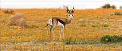 Springbok one of our famouse animals.
