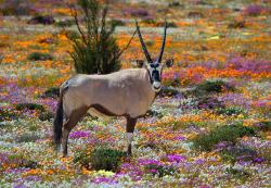 Gemsbok one of our famouse animals in the Namaqua Park.