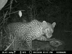 female leopard feeding on a common duiker that she had just killed