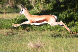 Springbok testing his flying skills