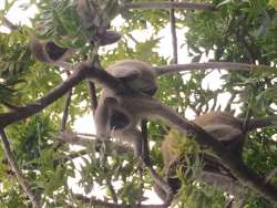 Three monkeys in Wild Plum Tree