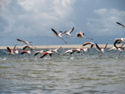 Resident flamingos on fly past