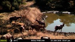 Blesbok at Water Hole