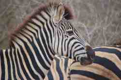 Zebra sighting, Kruger National Park