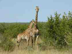 Giraffe in the Kruger National Park