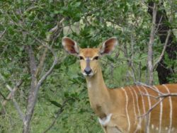Nyala in the camp