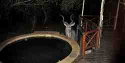 Kudu at pool