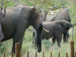 Elephants at lodge fence