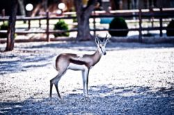 Springbok roam around the lodges grounds