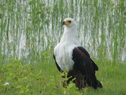 Abundant bird life (fish eagle)