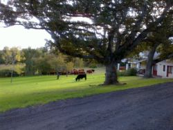 Cattle grazing on lawn