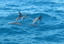 Dolphins come into the estuary and play or we can arrange an ocean safari to see the oceans and whales