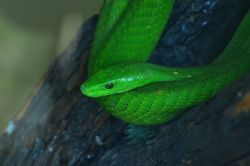 Green Mamba in the Reptile park