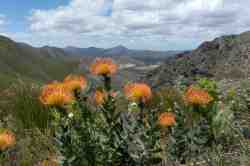 Pincushion protea on the upper slopes