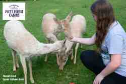 Hand feed our tame Fallow Deer