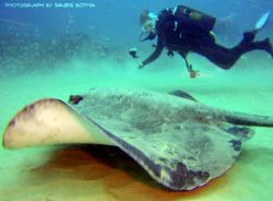 Picture of a Stingray taken while diving in Ponta