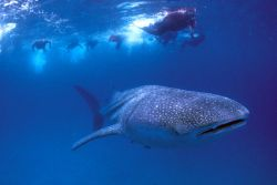 Photo of a Whale Shark taken while diving in Ponta
