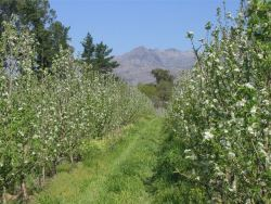 Fruit Orchards in Spring