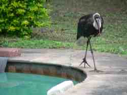 Wooly Neck Stork