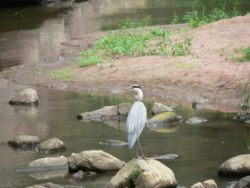 Beauty - Grey Heron in the river