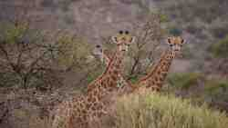 Giraffes seen on game drive. More than 30 species of animal can be seen at Rooiberg Safaris.