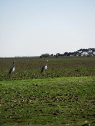 Blue cranes in the fields.  Wide variety of birds to be seen after heavy rains.