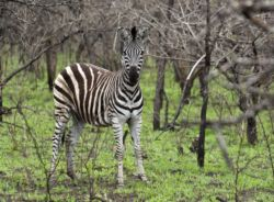 Zebra in a rejuvenated burnt area on Sungulwane Game Ranch