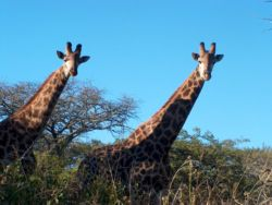 Some inquisitive giraffe on Sungulwane Game Ranch